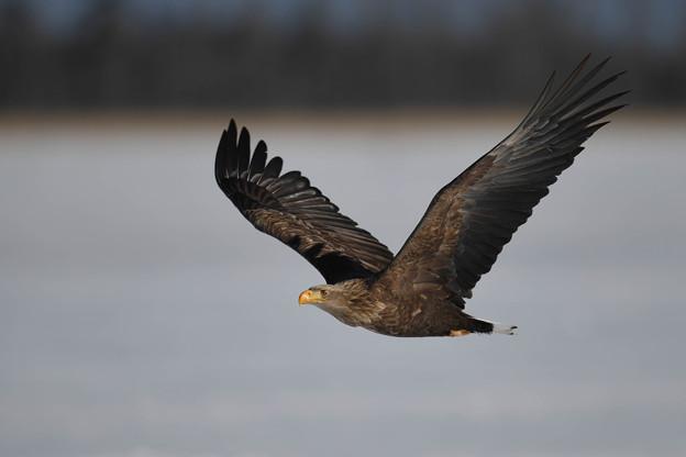 尾白鷲の飛翔中です・・