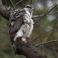 オオタカさん、止まり木で雄を待って居ます・・