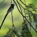 写真: 六月の三光鳥・・・ss=1/1000 秒