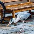 Photos: 祇園白川の鷺_0023