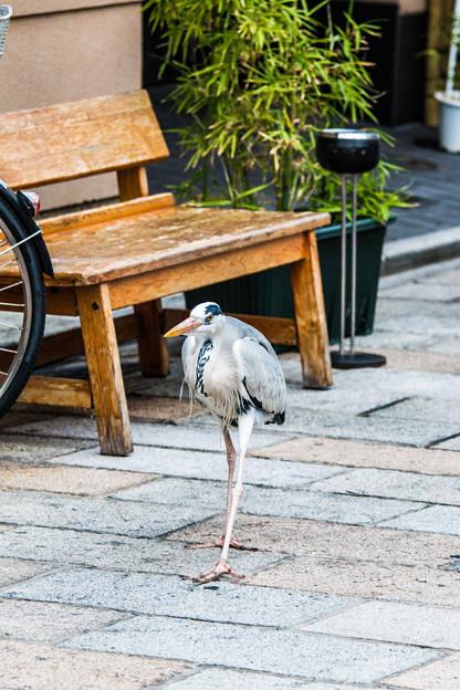 祇園白川の鷺_0024