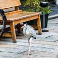 Photos: 祇園白川の鷺_0024