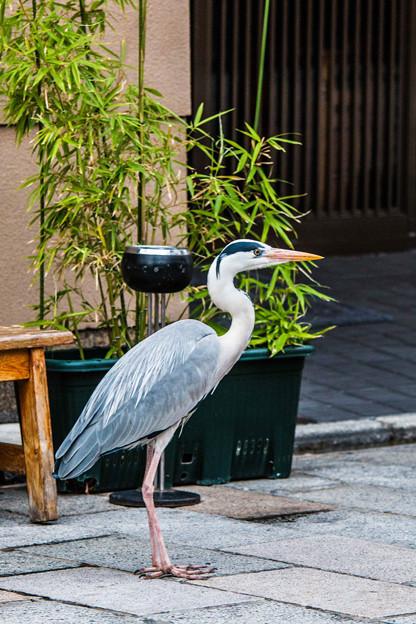 祇園白川の鷺_0009