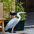 Photos: 祇園白川の鷺_0009