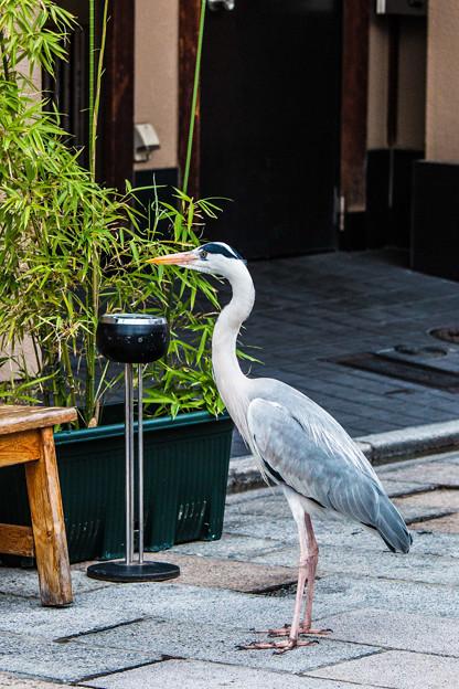 祇園白川の鷺_0016