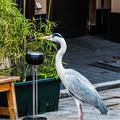 Photos: 祇園白川の鷺_0016