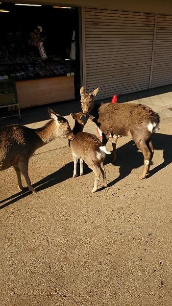 毎年行く奈良☆本当は正月にいくけど都合が悪くなって今日になった!おかげで家出るのがいつもより二時間ほど遅かった(笑) この鹿さん達、家族かな?