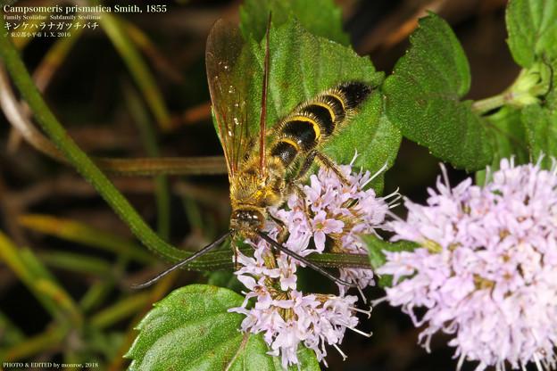キンケハラナガツチバチ#2