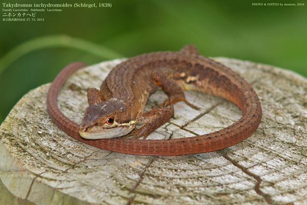 ニホンカナヘビ#2