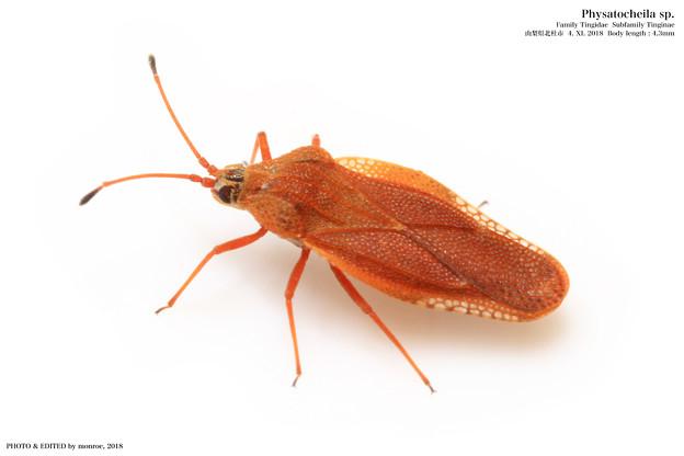 チャイログンバイ近縁種