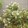 写真: 2018/05/28(月)・何のお花だろう???
