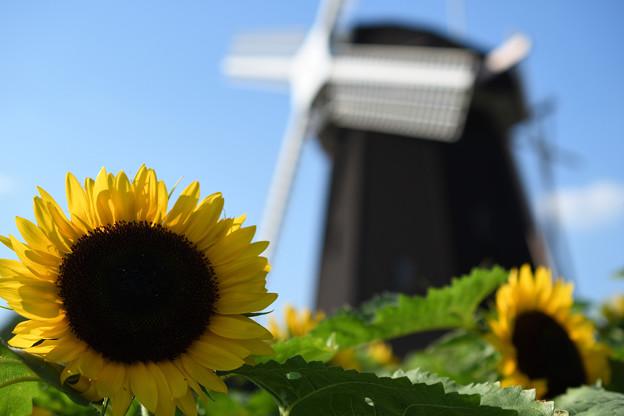 ひまわり&風車