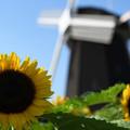 写真: ひまわり&風車