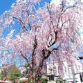0408_桜_1