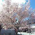 0408_桜_2