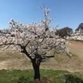 Photos: 0416_運動公園の桜