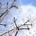 写真: ガラスの桜