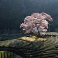 Photos: 水目桜