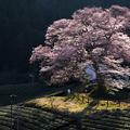 写真: 水目桜