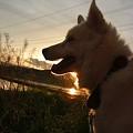 写真: 夕陽のましろ