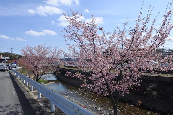 綺麗に咲いた桜並木に出会う