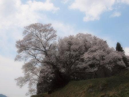 003_仏隆寺(千年桜)