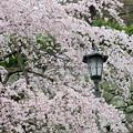 桜コレクション2018その1