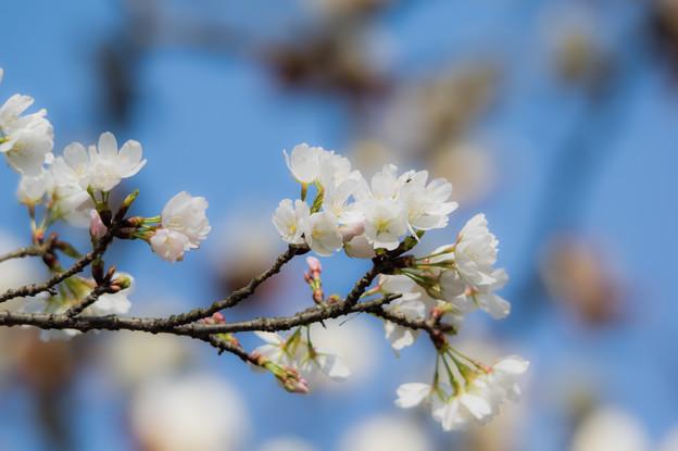 内山緑地の桜♪