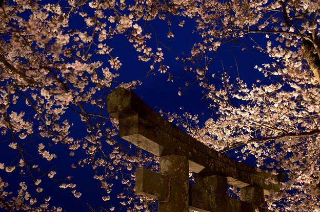 夕月桜のライトアップ♪