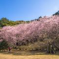 初御代桜♪
