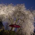 写真: 身延桜♪
