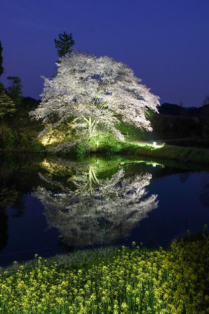 ジラカンス桜♪