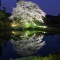 写真: ジラカンス桜♪