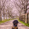 写真: 筑前町炭焼池公園の桜♪
