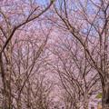 写真: 筑前町炭焼池公園の桜♪2