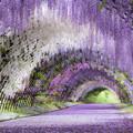 Photos: 河内藤園♪2