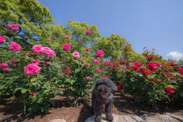 Photos: 駕与丁公園のバラ園♪