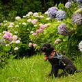 皿山公園の紫陽花♪