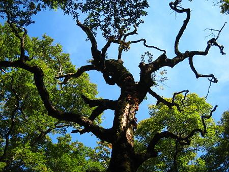 巨木に群生するキノコ