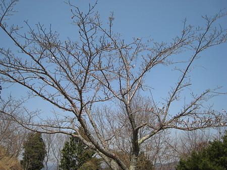 全然咲いていない桜の木