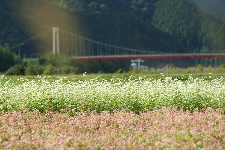 蕎麦の花がいっぱいです♪