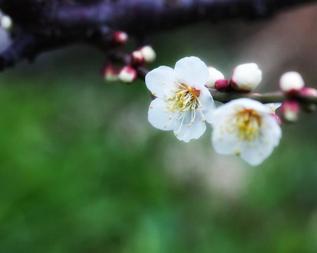 Photos: 今年初の梅花見♪
