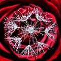 写真: rose waterdrops
