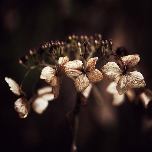 黄昏の枯れ紫陽花