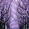 Photos: ひっそりと桜並木