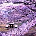 Photos: 2019.3.28桜