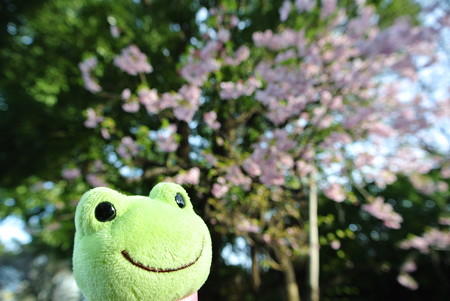 河津桜とカエル