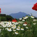 写真: 筑波山と花畑