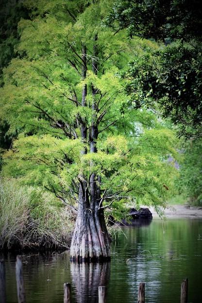 湖に立つ木2