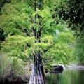 写真: 湖に立つ木2